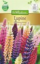 Lupine Prachtmischung